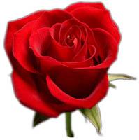 Blomma-Rosor
